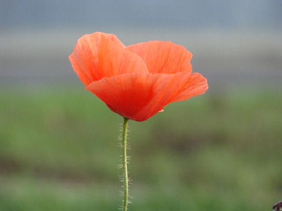 Graceful and fragile poppy stories, captured by Attila Brushvox