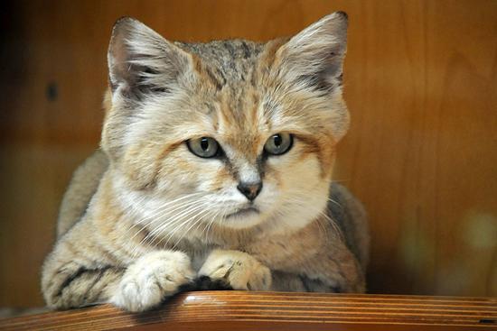 Felis margarita, the sand cat