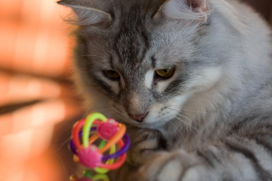 Siberian cat, photography by Michael aka Mischi3vo