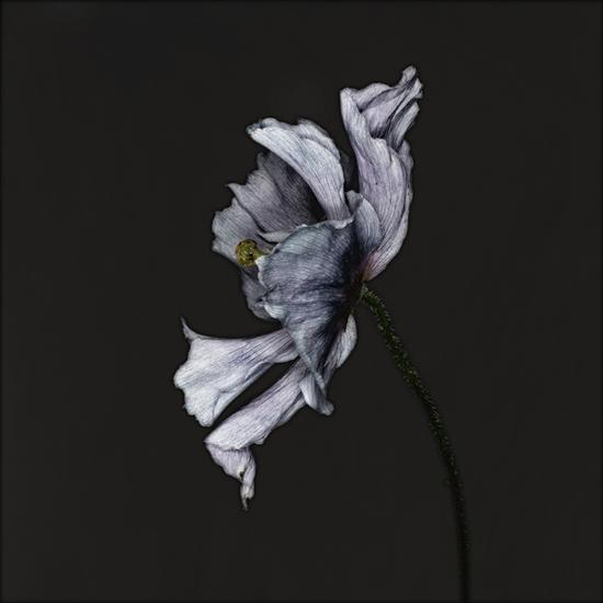 Carsten Witte: Mohn, a metamorphosis