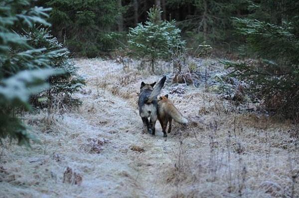 Surprising friendship between Norwegian dog and wild fox