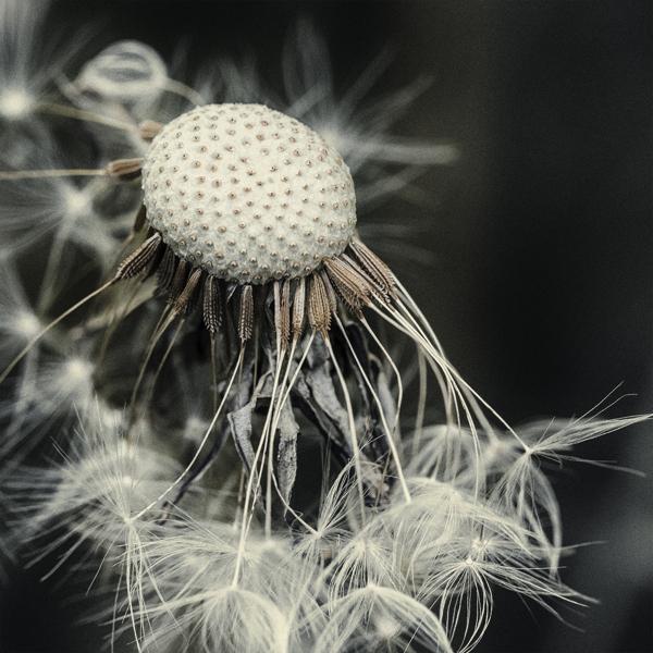 Taraxacum Seed Head, digital photography by Chaotic Atmospheres