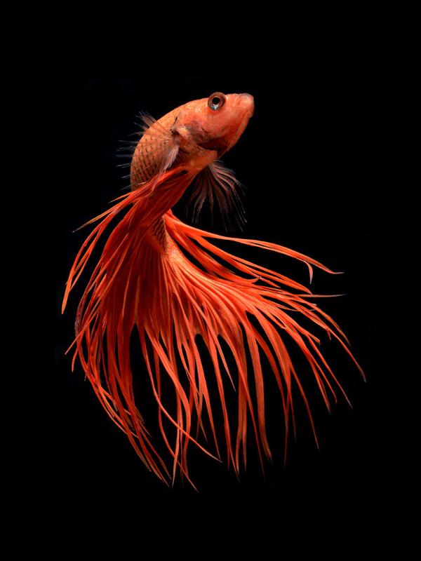 Stunning portraits of Siamese fighting fish by Visarute Angkatavanich
