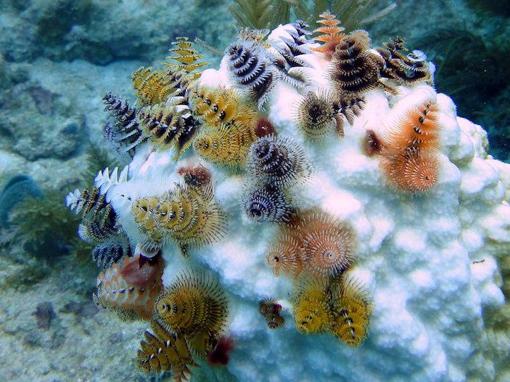 Underwater creatures look like mini Christmas trees