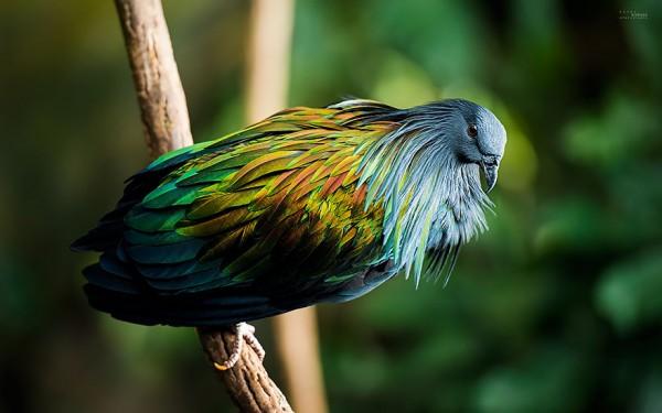 Nicobar pigeon, the closest living relative of the Dodo bird