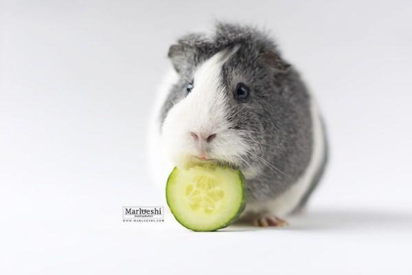 Mieps the Guinea Pig, adorable portraits by Marloes van Antwerpen