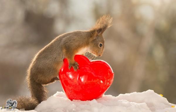 Wonderful wild red squirrels, photography by Geert Weggen