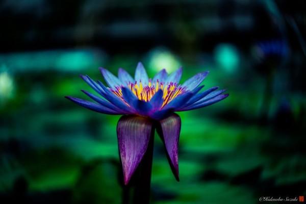 "Hidenobu Suzuki: ""I photograph water lilies that symbolize the purity of heart"""