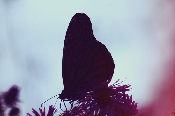 Rhopalocera, photography by Natasha A