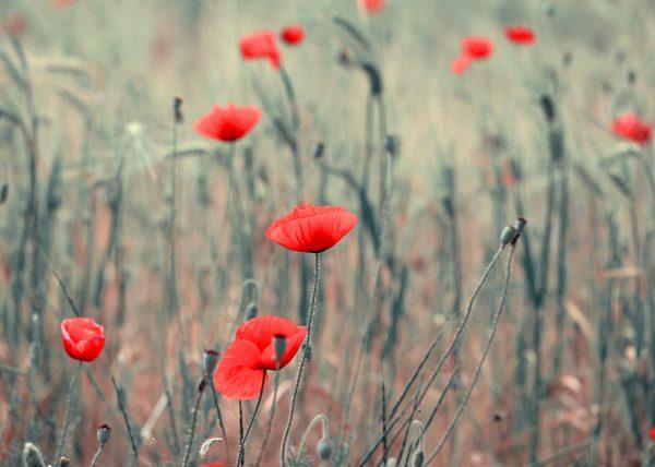Dope poppies, photography by Tatiana Korchemkina
