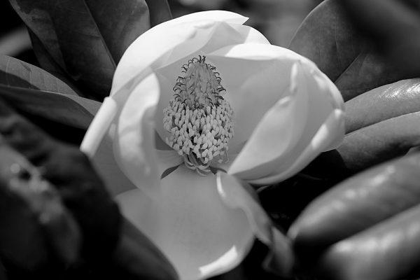 Magnolia Tenderness, photography by Tatiana Korchemkina