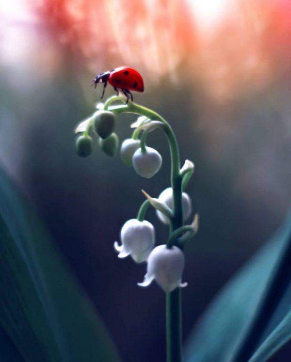 Ladybugs and flowers, macro photography by Elena Andreeva