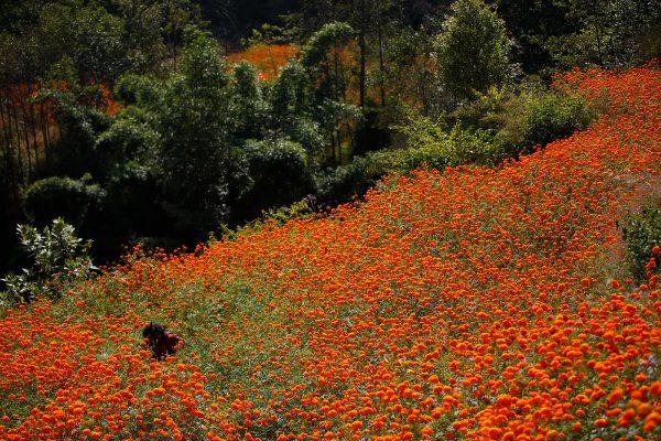Marigold Flowers in Nepal, photography by Skanda Gautam