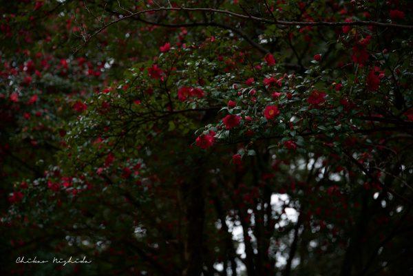 Camellia, photography by Chikao Nishida