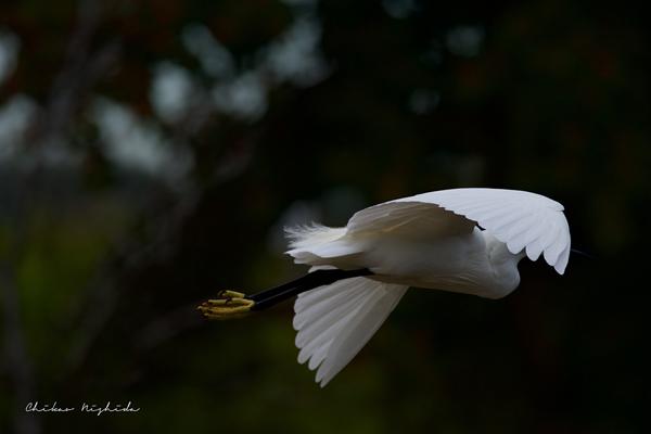 Small Egret, photography by Chikao NISHIDA - Ego - AlterEgo