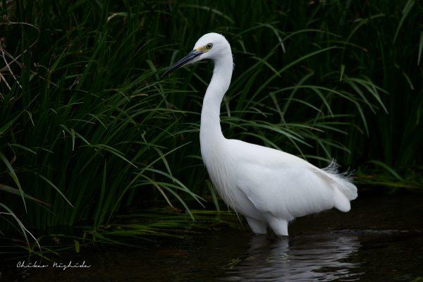 Small Egret, photography by Chikao NISHIDA