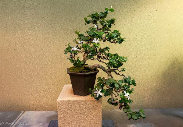 A walk through the Pacific Rim Bonsai Collection