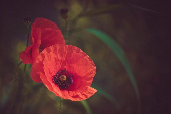 Poppy, photography by Michał Skarbiński