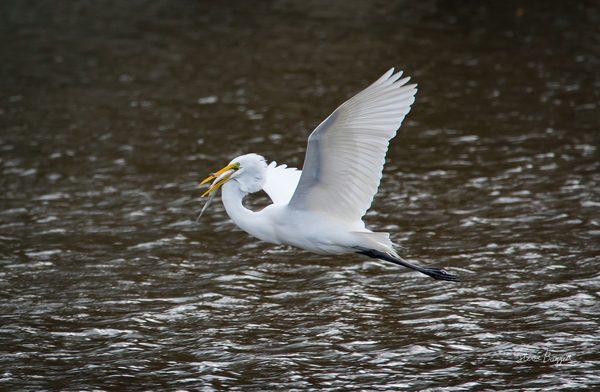 Egret series, photography by Steven Baggett