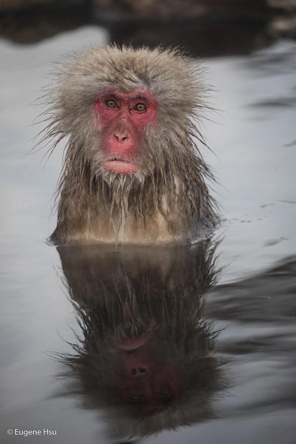 The Snow Monkeys of Nagano Japan, photography by Eugene Hsu