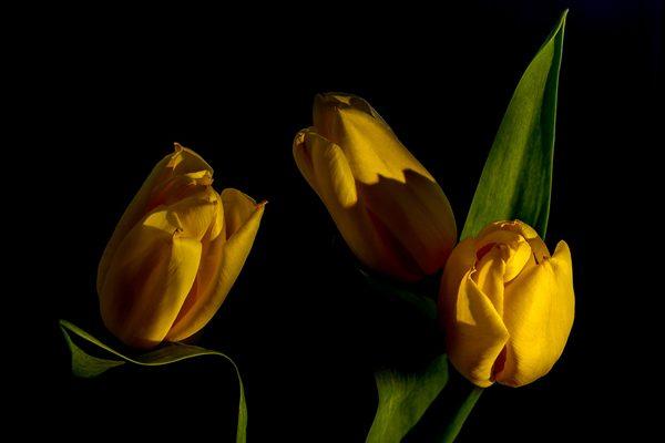 My yellow tulips and light, photography by Michał Skarbiński
