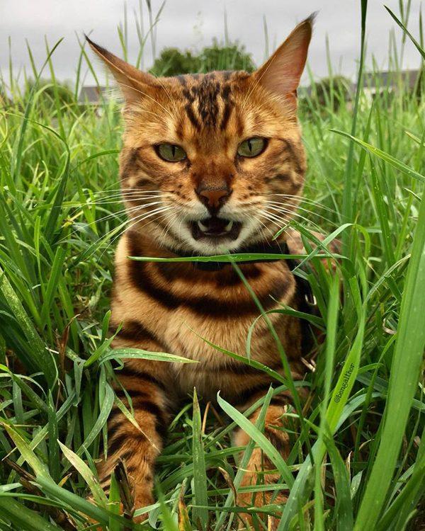 Thor the Bengal cat