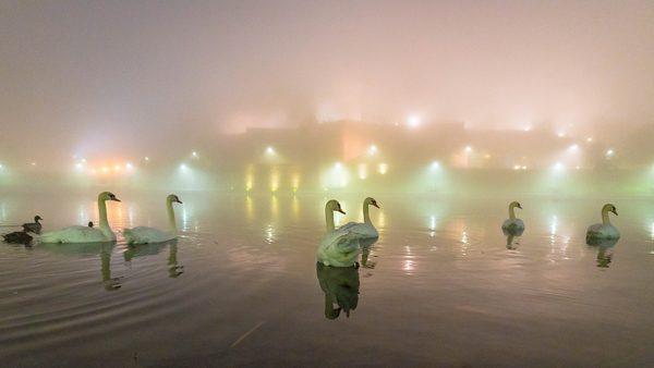 Swans on the Vistula River, photography by Michał Skarbiński
